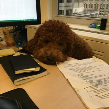 Scoop Technologies - Kugel, our office dog, hanging out around our desks!