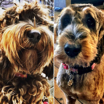 goodlord - One of our office pooches pre and post spring haircut - follow her @toastymctoastface
