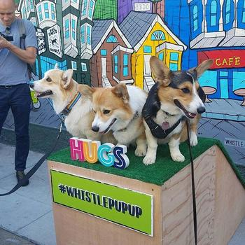Whistle - Corgi's at the Whistle Pup-up