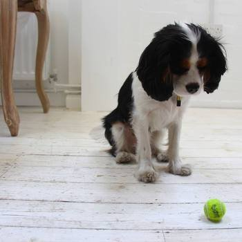 Swoon Editions - Meet Rufus the office dog!